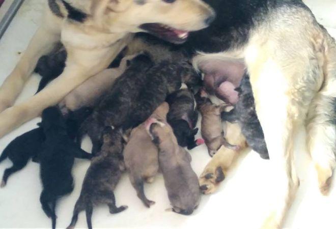 Canina Randagia Partorisce 9 Cuccioli Come Adottarli 055firenze